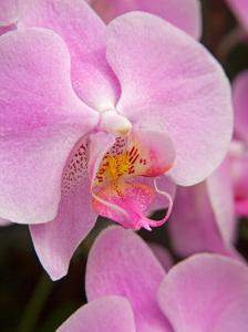 San Francisco Conservatory of Flowers. A pink orchid in the Phalaenopsis family by Julie Eggers