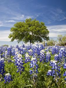 Texas Bluebonnets and Oak Tree, Texas, USA by Julie Eggers