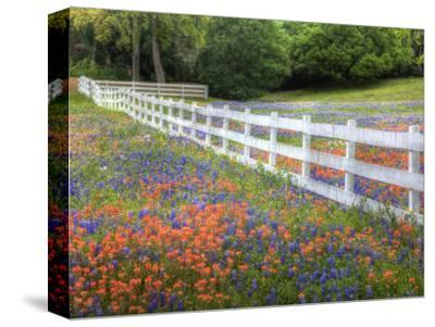 Texas Bluebonnets and Paintbrush Along White Fence Line, Texas, USA