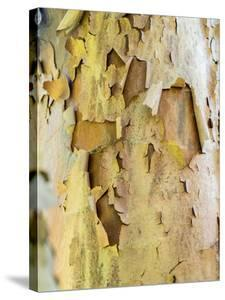 USA, Pennsylvania. Colorful bark on a tree in a garden. by Julie Eggers