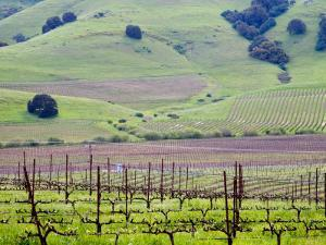 View Overlooking the Viansa Winery, Sonoma Valley, California, USA by Julie Eggers