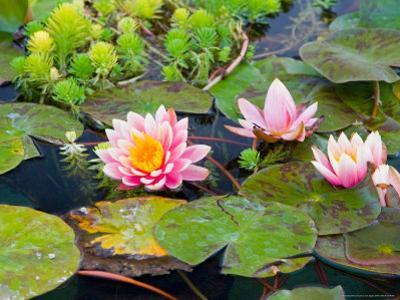 Water Lilies in Pool at Darioush Winery, Napa Valley, California, USA by Julie Eggers