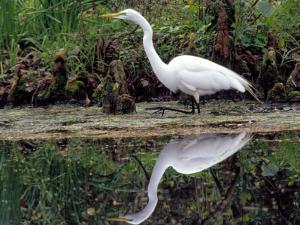 White Egret at Magnolia Plantation and Gardens, Charleston, South Carolina, USA by Julie Eggers