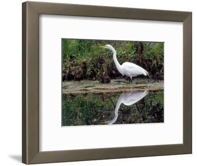 White Egret at Magnolia Plantation and Gardens, Charleston, South Carolina, USA