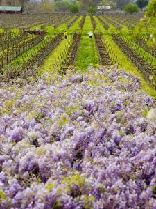 Workers in Vineyards with Wisteria Vines, Groth Winery in Napa Valley, California, USA by Julie Eggers