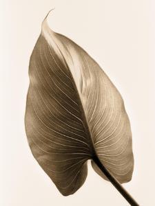 Alocasia 2 by Julie Greenwood