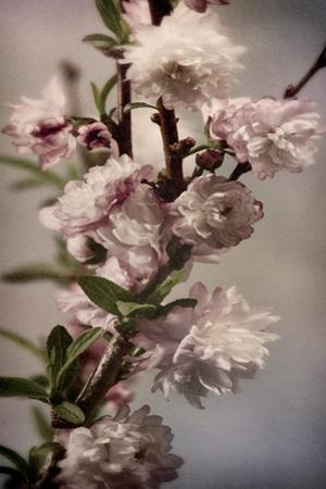 Blossoming Almond 1 by Julie Greenwood