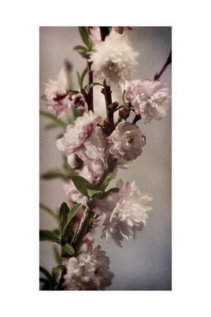 Blossoming Almond 1