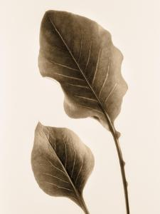 Philodendron Leaf by Julie Greenwood
