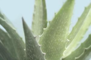 Soft Focus Succulent 1 by Julie Greenwood
