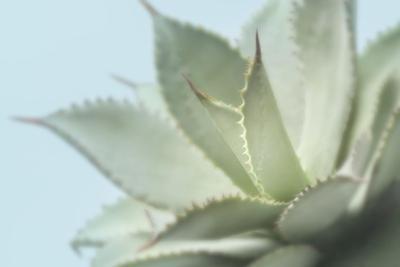 Soft Focus Succulent 4 by Julie Greenwood
