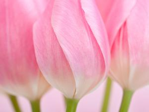Pink Tulips Flowers by Julie Pigula