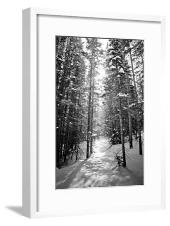 Snow Covered Pines Trees