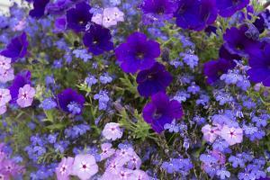 Close Up of Purple Flowers, York, Maine, USA by Julien McRoberts