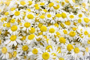 Istanbul, Turkey. Close-up of Chamomile flowers. by Julien McRoberts