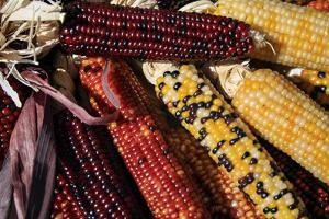 Santa Fe, New Mexico, USA. Dried Indian corn. by Julien McRoberts