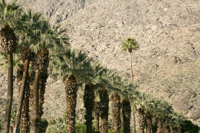 Scenic of Palm Trees, Palm Springs, California, USA