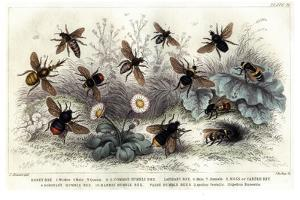 Study of Different Bees, Engraved J. Bishop by Julius Stewart