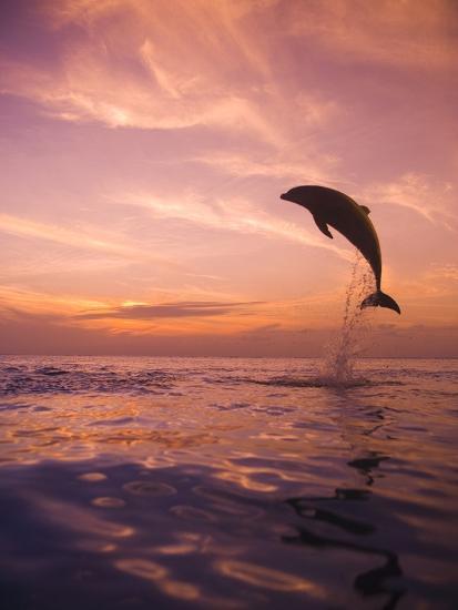 Jumping Bottlenose Dolphin-Stuart Westmorland-Photographic Print
