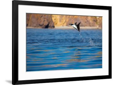Jumping Mobula Ray. Gull Rock. Baja California, Sea of Cortez, Mexico.-Tom Norring-Framed Photographic Print