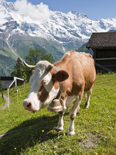 Jungfrau Massif and Cow Near Murren, Jungfrau Region, Switzerland, Europe-Michael DeFreitas-Photographic Print
