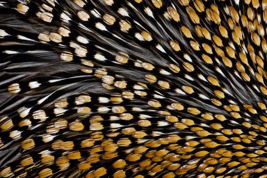 Jungle Cock Feathers-Darrell Gulin-Photographic Print