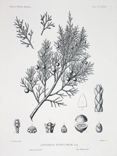 Juniperus Scopulorum (Rocky Mountain Juniper)-Charles Edward Faxon-Giclee Print
