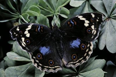 Junonia Oenone (Dark Blue Pansy)-Paul Starosta-Photographic Print