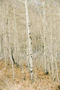 Aspen Trees, Sugarhouse Park, Salt Lake City, Utah by Jupiterimages