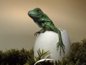 Baby Iguana Placed in a Goose Egg, (Iguana Iguana) by Jurgen Freund
