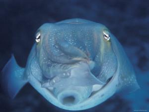 Broadclub Cuttlefish, Face-On, Great Barrier Reef, Australia by Jurgen Freund