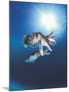 Broadclub Cuttlefish Mating, Sulu-Sulawesi Seas, Indo-Pacific by Jurgen Freund