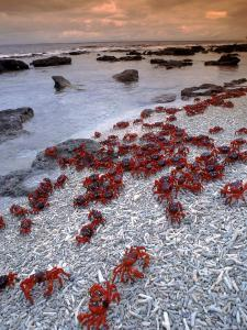 Christmas Island Red Crabs, on the Shore, Indian Ocean, Australia by Jurgen Freund