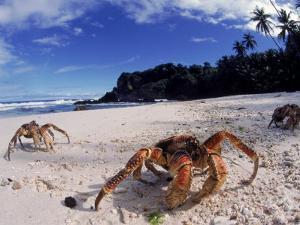 Coconut Crabs on Beach, Christmas Island by Jurgen Freund