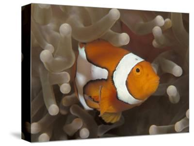 False Clown Anemonefish, in Anemone, Indo-Pacific