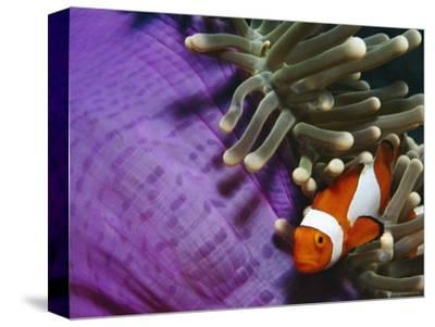 False Clown Anemonefish in Anemone Tentacles, Indo Pacific