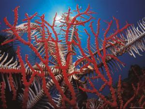 Featherstar, on Fan Coral Indo Pacific by Jurgen Freund