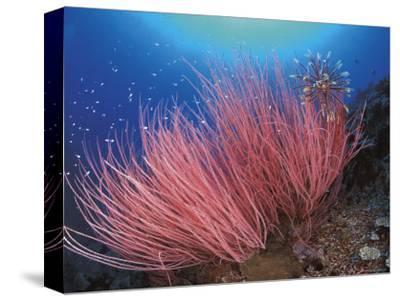 Featherstar, on Fan Coral, Sulu-Sulawesi Seas, Indo Pacific