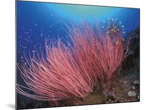 Featherstar, on Fan Coral, Sulu-Sulawesi Seas, Indo Pacific by Jurgen Freund