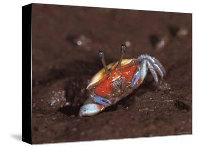 Fiddler Crab, Busuanga Island, Philippines