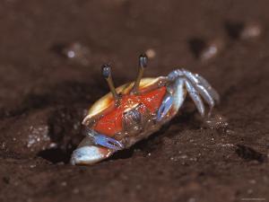 Fiddler Crab, Busuanga Island, Philippines by Jurgen Freund