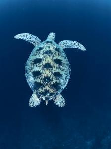 Green Sea Turtle, Indo Pacific by Jurgen Freund