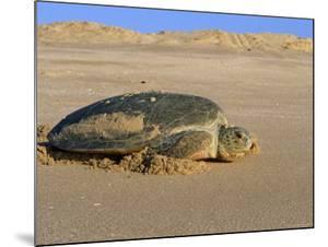 Green Turtle Returns to Sea after Laying Eggs, Ras Al Junayz, Oman by Jurgen Freund
