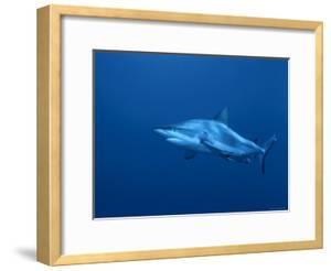 Grey Reef Shark, Coral Sea, Queensland, Australia by Jurgen Freund