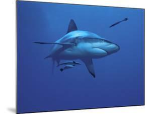 Grey Reef Shark, with Remora Fish, Great Barrier Reef, Queensland, Australia by Jurgen Freund