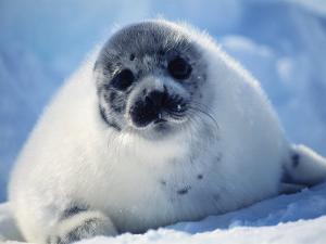 Harp Seal Pup on Ice at Start of Moult, Magdalen Is, Canada, Atlantic by Jurgen Freund