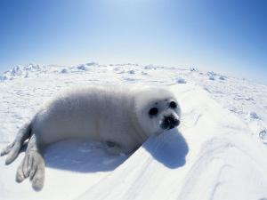 Harp Seal Pup on Ice, Magdalen Is, Canada, Atlantic by Jurgen Freund