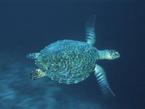 Hawksbill Turtle Swimming, Indo Pacific by Jurgen Freund
