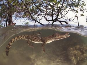 Juvenile Saltwater Crocodile, Amongst Mangroves, Sulawesi, Indonesia by Jurgen Freund
