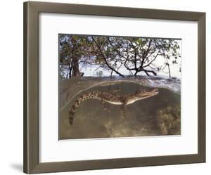 Juvenile Saltwater Crocodile, Amongst Mangroves, Sulawesi, Indonesia by Jurgen Freund